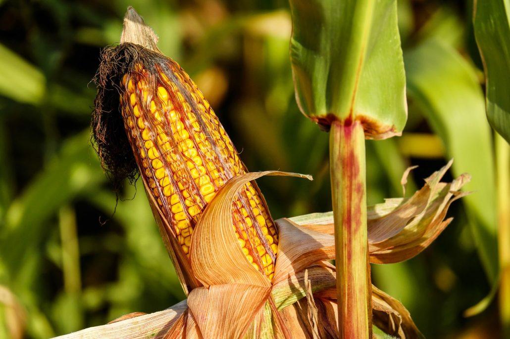 Mais enthält auch Melatonin